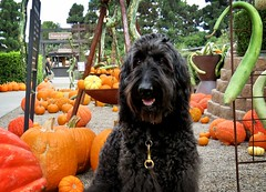 """Best treats ever so I made eye contact."" by Benni Girl (Bennilover) Tags: pumpkins gourds dog dogs labradoodle black newportbeach october rogersgardens posing goodgirl benni happy treats beef"