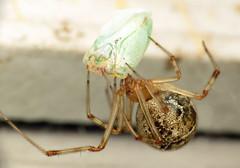 bug of the day: Arachtober! (urtica) Tags: framinghamma framingham ma massachusetts usa night bugoftheday arachtober spider arachnid arachnida araneae theriididae cobwebspider