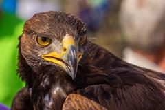 """Golden Eagle """"Rooster"""" (Ragnarøkkr) Tags: animal eagle bird predator"""