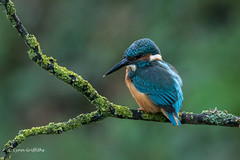 Kingfisher - Male - Early morning shot D85_5189.jpg (Mobile Lynn) Tags: kingfisher birds nature alcedoatthis aves bird chordata coraciiformes fauna wildlife winchester england unitedkingdom gb
