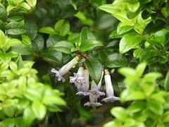 馬鞭草科 Rhaphithamnus spinosus 多刺針琴木   Prickly Myrtle  Arrayán macho  針琴木屬 (Sheila's collection) Tags: arrayán macho prickly myrtle 馬鞭草科 verbenaceae edible shrub