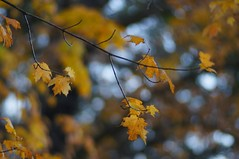 autumn yellow (gwuphd) Tags: isco ultramc 115mm f2 diy projectionlens leaves foliage autumn bokeh