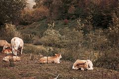 Roncesvalles (veronika b phoenix) Tags: roncesvalles spain españa navarra landscape cows animals flowers trees winter fall autumn nikon mountains fields green grass beautiful brown