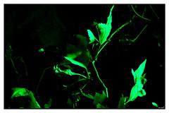 Luminescenza 2 (eagles2001it) Tags: foglie leaves verde green