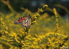 Monarch... (angelakanner) Tags: canon70d carlzeiss monarch goldenrod yellow bayardcuttingarboretum