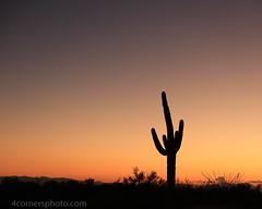 Venus and Saguaro Cactus, Pima County, AZ (4 Corners Photo) Tags: 4cornersphoto arizona cactus carnegieagigantea color dusk fouquieriasplendens landscape nature northamerica ocotillo outdoor pimacounty rinconmountains rural saguaronationalpark saguarocactus scenery sky sonorandesert summer sunset unitedstates venus us