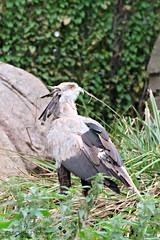 roofvogel (MiChaH) Tags: diergaarde blijdorp dierentuin zoo rotterdam dieren animals wild 2018 marabu vogel bird portret portrait