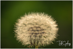 My barber knows exactly what I want (Bob Geilings) Tags: bokey dandelion flower closeup nature green