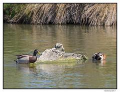 2017-05-15_Canards Col Vert-0022.jpg (Hacheme 26) Tags: colvert oiseaux natureetpaysages canard animaux saintesmariesdelamer provencealpescôtedazur france fr