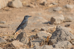 Blaumerle (Monticola solitarius) (Matthias.Kahrs) Tags: blaumerle monticola solitarius blue rock thrush vögel vogel bird birds matthiaskahrs tier natur outdoor wildlife oman tiefenschärfe schärfentiefe canon 5d canon5dmarkiv canoneos5dmarkiv sigma 150600mm sigma150600mm sigma150600mmf563dgoshsms sigma150600mmf563dgoshsmsports matthias kahrs