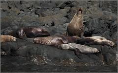 sea-lion (tesseract33) Tags: tesseract33 nikon light world art colour d750 peterlangphotographynet peterlang outdoors westcoast nikond750 comoxphotographers nature animals sealions seals shoreline