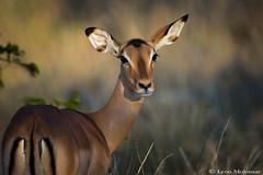 Impala (female) (leendert3) Tags: leonmolenaar southafrica krugernationalpark wildlife nature mammals impala ngc npc coth5