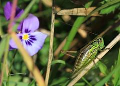 Cricket (Wild Chroma) Tags: bulgaria vitosha unidentified insects cricket