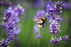 Landing position (Ali Yamaner) Tags: nature outdoor bee bumblebee lavender landing garten animal