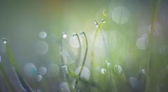 Dewdrops bokeh (Dhina A) Tags: sony a7rii ilce7rm2 a7r2 a7r smc pentax m 50mm f17 pentaxm50mmf17 bokeh manual kmount legend manualfocus dewdrops water drops dew