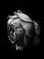 Rosa (jantoniojess) Tags: rosas rosa rose blancoynegro blackandwhite monocromático monochrome nikon rocío raindrops drop gotasdeagua gota transparencias pétalos petal flor flower londres london macro macrofotografía