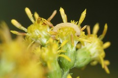 Blackberry Looper on Goldenrod (BSendelbach) Tags: caterpillars mothcaterpillars moth larvae mothlarvae mothlarva mothcaterpillar caterpillar insects bugs
