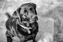 Bucky (Thomas Hawk) Tags: bucky california eastbay piedmont usa unitedstates unitedstatesofamerica blacklab blacklabrador bw dog lab labrador fav10 fav25