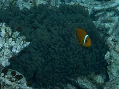 Finding Nemo: the Maldives Anemonefish (omnia2070) Tags: the maldives south male atoll nemo reef finding anemonefish anemone orange white stripe