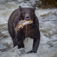 Gotcha (Chris Willis 10) Tags: bears canada surfing vancouver bear animal mammal wildlife nature river brownbear water animalsinthewild outdoors large carnivore forest brown grizzly salmon