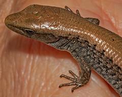 Juvenile Alligator Lizard Portrait (autumnhillswoollens685) Tags: alligatorlizard lizard reptiles reptile macrophotography macrodreams macro d800fx nikon105mmf4aismacrolens photoshop