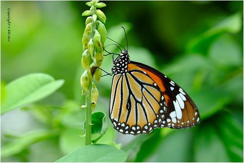 Common Tiger (Danaus genutia) 虎斑蝶 - 111018_DSF2673j