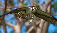 The Predator (agnish.dey) Tags: bird birding birdwatching birdsofprey predator osprey fish naturallight nature naturephotograph nikon coth florida animalplanet d500 wildlife hunting birdsinflight