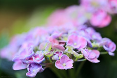 Remember summer? (eleni m) Tags: hydrangea hortensia macro flower flowers plant garden backyard summer 2018 pink lilac green summereve dof soft softfocus