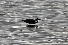 Héron en ombre chinoise (Elisabeth Lys) Tags: d7200 sigma 150600mm contemporary birds héron vioreau lac
