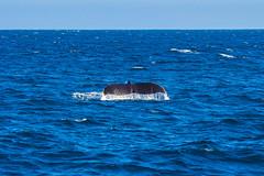 whale11Oct5-18 (divindk) Tags: anacapa anacapaisland channelislands channelislandsnationalpark humpbackwhale megapteranovaeangliae sanmiguelisland santabarbara santacruzisland santarosaisland underwater ventura blueocean cetacean diverdoug flukes marine marinemammal ocean reef sea underwaterphotography whale whaletail