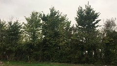 Field elm - trees - October 2018 (Exeter Trees UK) Tags: field elm trees october 2018