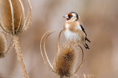 Le maître des lieux. (DorianHunt) Tags: birds bokeh goldfinch yverdon switzerland october 2018 nikond500 sigma 150600mm