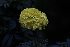 Fall Flower (Diane Marshman) Tags: marigold annual flower large yellow head tall garden landscape plant dark background leaves fall pa pennsylvania nature
