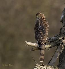 Cooper's Hawk (Eric_Z) Tags: coopershawk hawk blakeburnlagoons portcoquitlam britishcolumbia canada canoneos7dmkii ef100400mmf4556lisiiusm