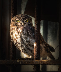 You're barred. (dickiebirdie68) Tags: owl little bird funny building bars nature wildlife natural eyes portrait suffolk springwatch cute