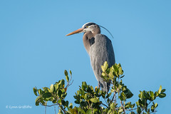 The perfect viewing point 500_7392.jpg (Mobile Lynn) Tags: herons birds greatblueheron nature ardeaherodias bird ciconiiformes coast fauna heron marsh wading wildlife wetland fortmyers florida unitedstates us coth specanimal ngc coth5 npc
