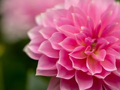 elegance (dayonkaede) Tags: olympusem1markii m40150mmf28 darya flower nature color plant pink