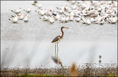 Pea Island TriColored Heron (MurrayH77) Tags: pea island nwr hatteras obx outer banks nc