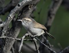Bewick's Wren, Thryomanes bewickii (Dave Beaudette) Tags: birds bewickswren thryomanesbewickii fortlowellpark tucson pimacounty arizona