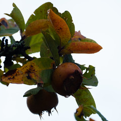 Shakespearean medlars, ripening (Dave_A_2007) Tags: fruit medlar nature plant tree stratfordonavondistrict warwickshire england
