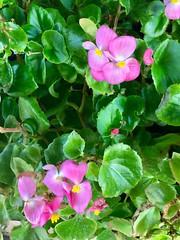 Pink Begonias (stashheap) Tags: begonias pink flowers
