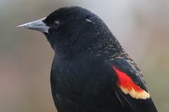 Red-winged Blackbird (Terrance Carr) Tags: dncb 201843 reifel terry carr terrycarr 20181023 2018 october