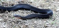svart huggorm 2 Marsäng 180823 (Morgan Lee Andersson) Tags: adder viper huggorm orm snake