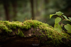 Moss Forest (ARKSAI PHOTOGRAPHY) Tags: moss woods lush tree trunk forest foliage fallen lichen fall nature bark pics nikon japan d750 macro photography botanical plants bryophyte