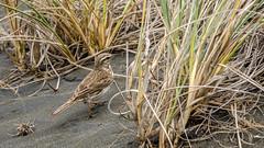 Pipit (Stefan Marks) Tags: animal anthus bird dune grass nature outdoor pipit sand aucklandwaitakere northisland newzealand nzl