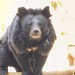 Moon bear or Asian Black bears - Beijing, China