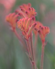 Kangaroo paw (petebond_au) Tags: macro paw kangaroo wa anigozanthos haemodoraceae beautifulplants plant australia softfocus biodiversity angiosperm