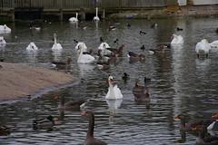 1508-10L (Lozarithm) Tags: slimbridge wwt swans k1 55300 hdpda55300mmf458edwr justpentax