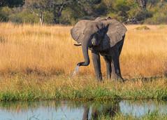 Getting a drink (mclcbooks) Tags: elephant elephants river water grass okavangodelta botswana moremicrossing safari wildlife animal africa