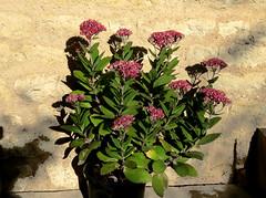 Hylotelephium ??? (Nessy apprentie en rangement) Tags: hylotelephium sedum crassulaceae succulent agl